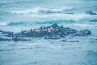 California sea lions and Steller's sea lions share space and safety as a storm rolls in on Oregon's Simpson Reef in Coos County. These huge marine mammals will regularly group together in bad weather and take shelter on the numerous rocks found just off the beach all along the West Coast of North America. The lighter brown sea lions are the Steller's sea lions which are on the endangered species list, while the dark brown sea lions are the common California sea lions.