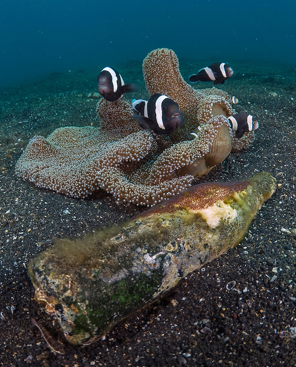 Saddleback Anemonefish (Amphiprion polymnus) guarding a clutch of orange/reddish eggs deposited on an old glass bottle next to their anemone in Lembeh Strait, Indonesia.