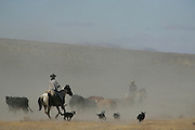 (wild horse gather nevada)  Cold Springs, Nevada Oct. 24, 2006    Casey Ranch cowboys followed by a pack of trusting herding dogs wrangle cows as they prepare to move these from one pasture to a different one within their ranch on October 25, 2006. (Suarez, Essdras M/ Globe staff)/ Travel