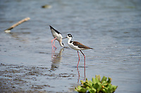 Black-necked Stilt (Himantopus mexicanus) foraging on edge of Lake Chapala, Ajijic, Jalisco, Mexico