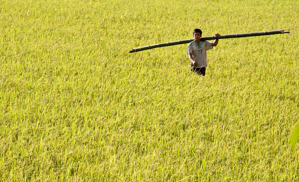 Tuan Giao, Vietnam - Settembre 2010: Un ragazzo trasporta un lungo bamboo in un campo di grano.<br /> <br /> Tuan Giao, Vietnam - September 2010: young boy walks trough a wheat field holding a long bamboo.