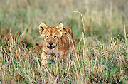 Lion Cub walking through grass