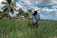 A Haitian peasant working in an onion field. Artibonite Valley, Haiti. January 22, 2008.