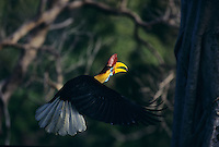 Red-knobbed Hornbill male (Aceros cassidix) in flight.