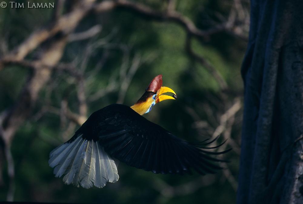 Red-knobbed Hornbill male (Aceros cassidix) in flight.