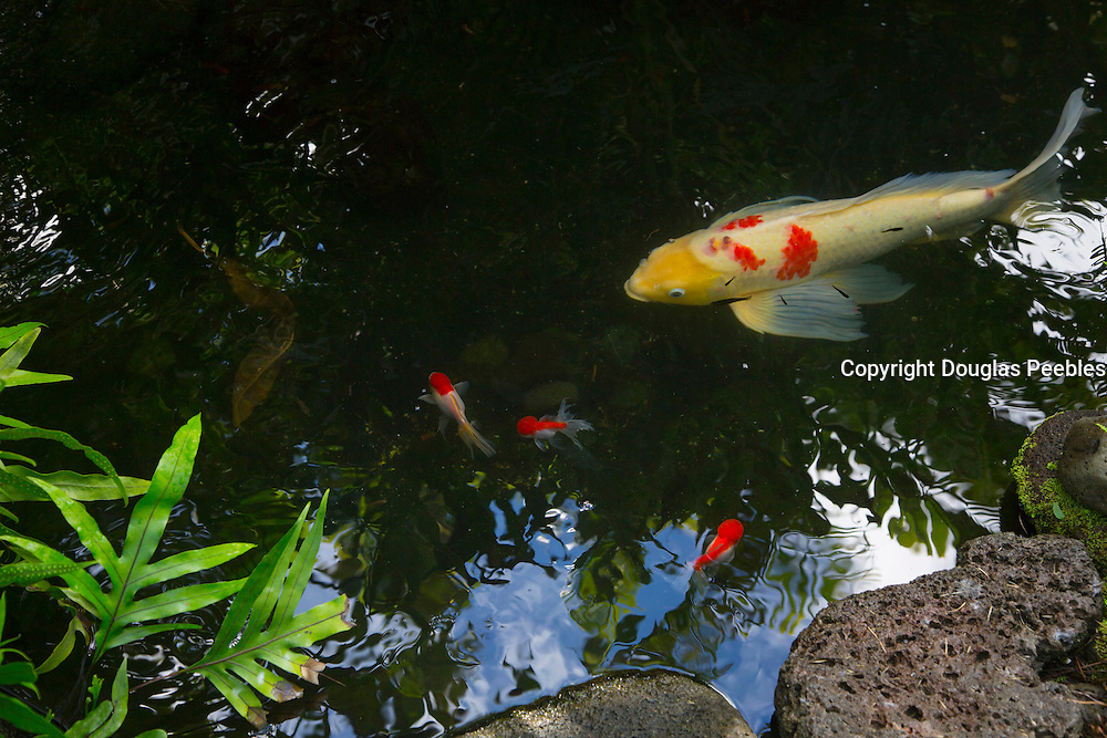 Koi, Japanese, carp, fish, hawaii