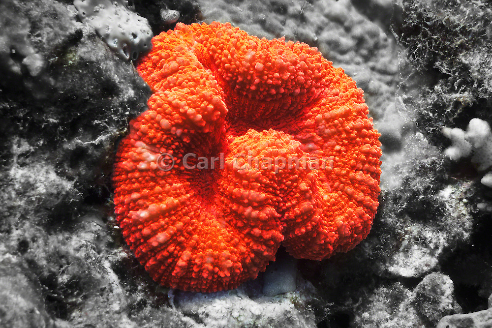 Lobophyllia hemprichii  Brain Coral - Agincourt Reef, Great Barrier Reef, Queensland, Australia.