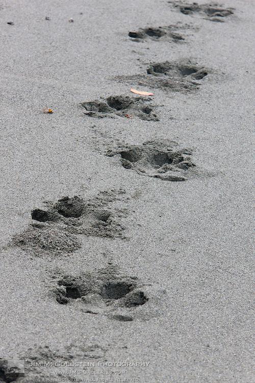 Baird's Tapir (Tapirus bairdii) tracks on the sandy beach of Corcovado National Park