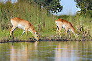 Red lechwe males drink from a stream in the Okavango Delta,© 2019 David A. Ponton