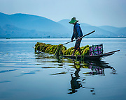 Harvesting the water-weeds in Lake Inle for the network of floating gardens. In June 2015, Lake Inle became Myanmar's first World Network of Biosphere Reserves and recognised by UNESCO for it's biodiversity.