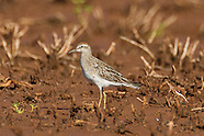 Sharp-tailed Sandpiper photos