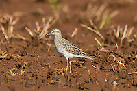 Sharp-tailed Sandpiper photo Hawaii