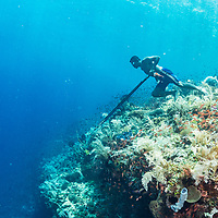 A subsistance Indonesian spear fisherman walks over a coral reef towards the wall looking for fish.