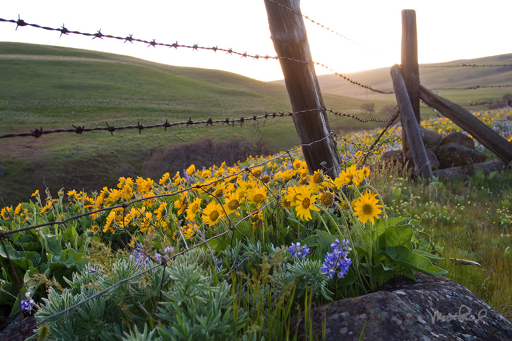 Columbia Hills wildflowers