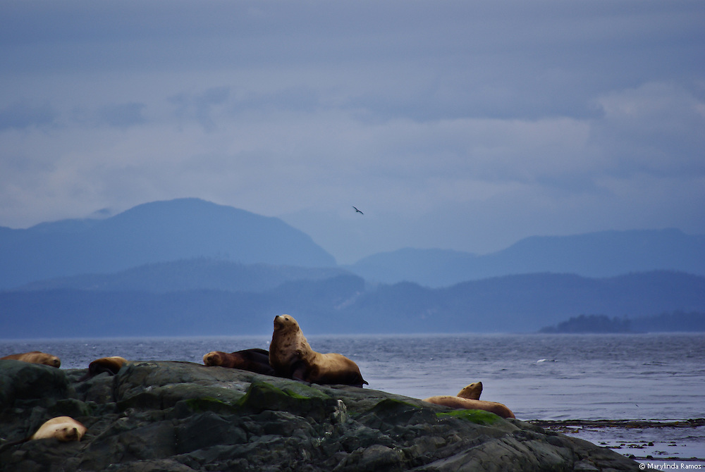 Seals resting along Johnstone Straight, British Columbia, Canada.  The area is home to one of the largest, best researched populations of orcas. Resident orcas feed on salmon; transient orcas hunt other marine mammals.