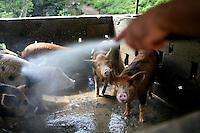 Washing the pigs, Jayuya, Puerto Rico, on Sunday, November 16, 2008.