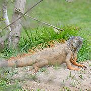 Iguana baskin in the sun at Queen Elizabeth II Botanic Park. Grand Cayman Island.
