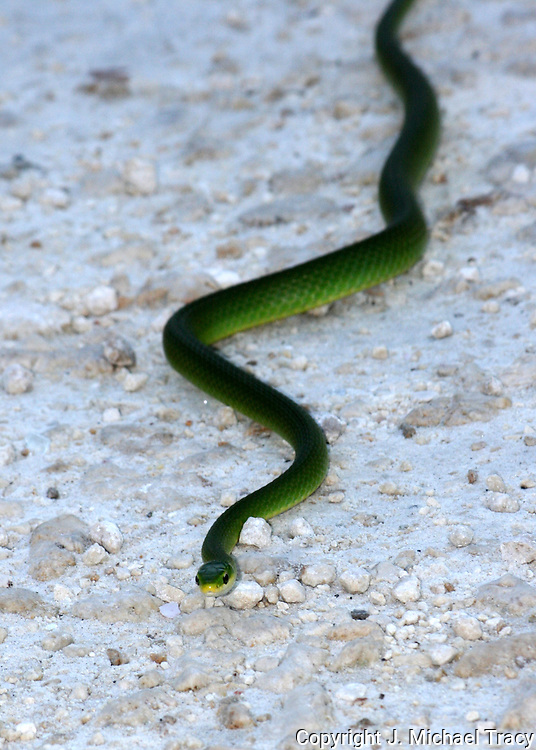Georgia snake, Rough Scaled Green Snake crossing a gravel road.