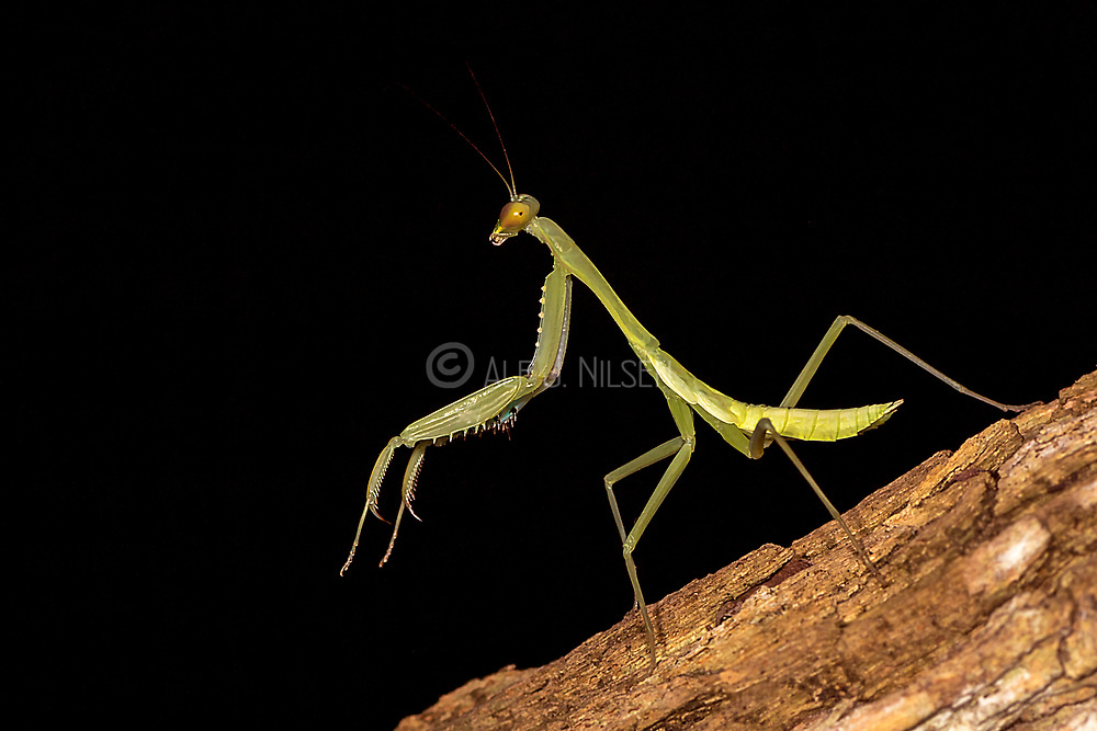 Green praying mantis (Hierodula sp.) from Komodo Island, Indonesia.