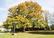 Black oak tree, Quercus Velutina, in autumn leaf at Earl Soham, Suffolk, England, UK