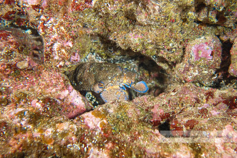 Graeter slipper lobster-Grande cigale (Scyllarides latus), Pico Island, Azores Archipelago.