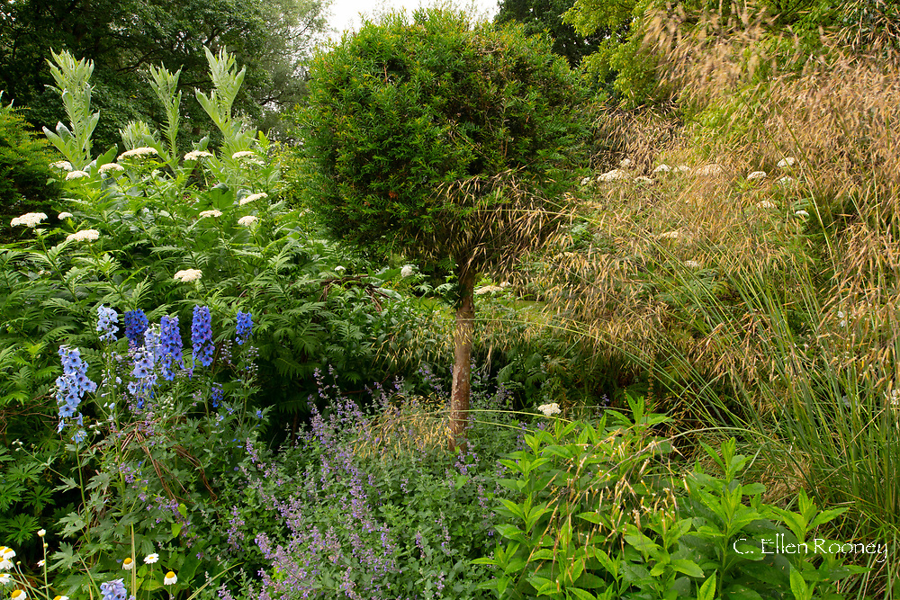 Delphinium, Achillea macrphylla, Yew and Stipa giganata at Cothay Manor, Greenham, Wellington, Somerset, UK