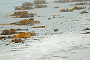 Atlantic Piping Plover (Charadrius melodus melodus)  on the shore of the Atlantic Ocean. Endangered SPecies in Canada.<br />
