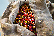 Harvested coffee cherries in a burlap sack, Kona Coast, The Big Island, Hawaii USA