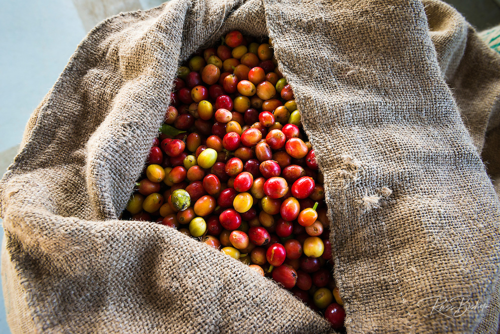 Harvested coffee cherries in a burlap sack, Kona Coast, The Big Island, Hawaii USA