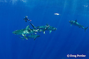 Stefanie Brendl, free-diving with tiger sharks, Galeocerdo cuvier, North Shore, Oahu, Hawaii, USA ( Central Pacific Ocean ) MR 389