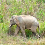 Wild male asian elephant, Elephas maximus, at Kui Buri National Park, Thailand.