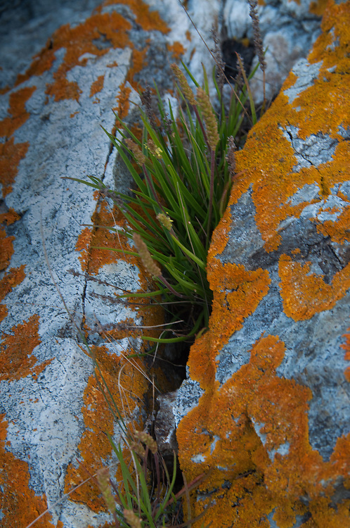 Orange lichens on tidal rocks, Nautilus Island, Castine, Maine, US