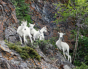 Dall Sheep (Orvis dalli) ewes and lambs in summer in the mountains along Turnagain Arm, Chugach State Park.