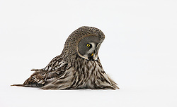 Great Grey Owl (Strix nebulosa) in Finland