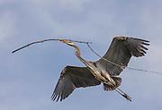 Great Blue Heron (Ardea herodias) - nesting at Lake Murray, San Diego, CA