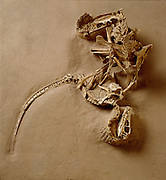 A juvenile Velociraptor attacked a Protoceratops, which bit down of the predator's right hand with its beak-like jaws, locking both in a death grip.  The Velociraptor's hind claw is embedded in the Protoceratops' belly.
