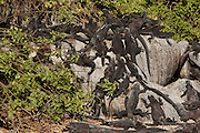 Galapagos marine iguanas (Amblyrhynchus cristatus) on Espanola Island, Galapagos Archipelago, Ecuador.