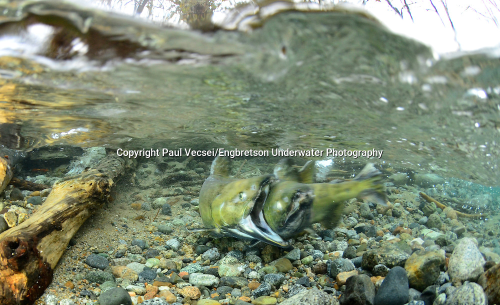 Chum Salmon (spawning pair)<br />
