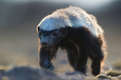 Honey Badger (Mellivora capensis) comming close, Kalahari, Botswana