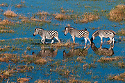 Aerial view of  plains zebras (Equus quagga) walking in Okavango Delta floodplains.