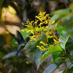 """""""Beija-flor-de-fronte-violeta (Thalurania glaucopis) fotografado em Linhares, Espírito Santo -  Sudeste do Brasil. Bioma Mata Atlântica. Registro feito em 2014.<br /> <br /> <br /> <br /> ENGLISH: Violet-capped Woodnymph photographed in Linhares, Espírito Santo - Southeast of Brazil. Atlantic Forest Biome. Picture made in 2014."""""""