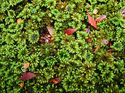 Verdant moss grows in the rainforest of Franklin-Gordon Wild Rivers National Park, Tasmania, Australia. The Tasmanian Wilderness was honored as a UNESCO World Heritage Site in 1982, expanded in 1989.