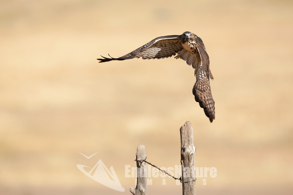 A Red Tailed Hawk takes off from the fence post it was perched on and heads across a field in search of its next meal.