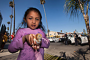 A young girl shows off her pet chick while Sergeant Muirhead questions her father who sits in a patrol car in South Central Los Angeles, Calif. on January 29, 2011. The girl's father was detained on a felony warrant. (photo by Gabriel Romero ©2011)