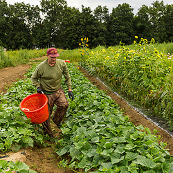 A man harvests cucumbers at Barker's Farm in Stratham, New Hampshire.