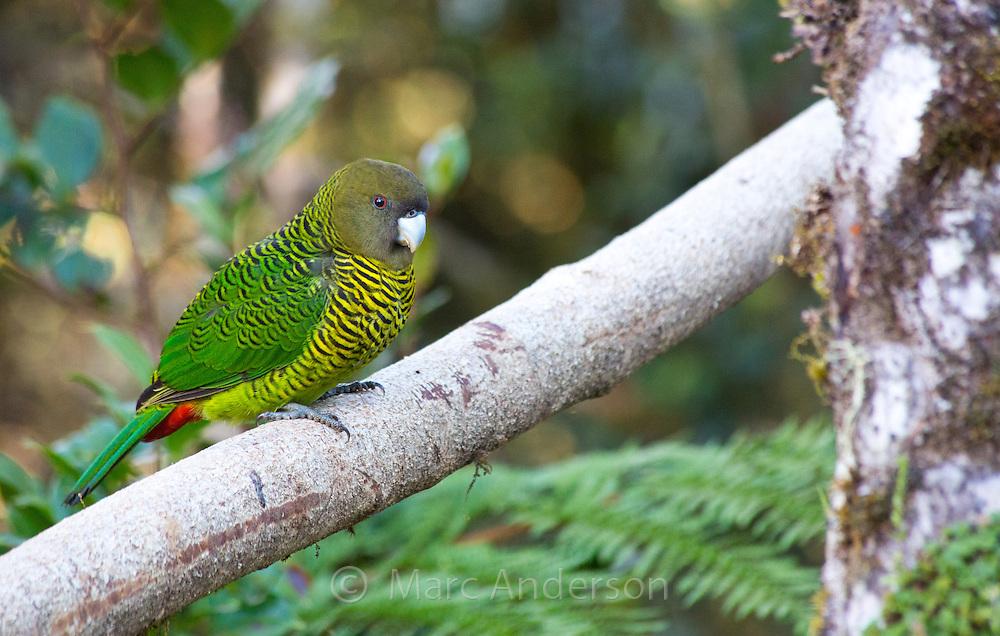 Brehm's Tiger Parrot, (Psittacella brehmii), Enga Province, Papua New Guinea highlands.