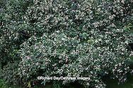 63808-030.03 Gray Dogwood (Cornus racemosa) bush with berries, Marion Co, IL