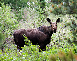 Glacier National Park, Many Glaciers Area: Moose along the Swiftcurrent Nature Trail.
