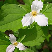White trillium, Cove Hardwood Nature trail, Great Smoky Mountain National Park.