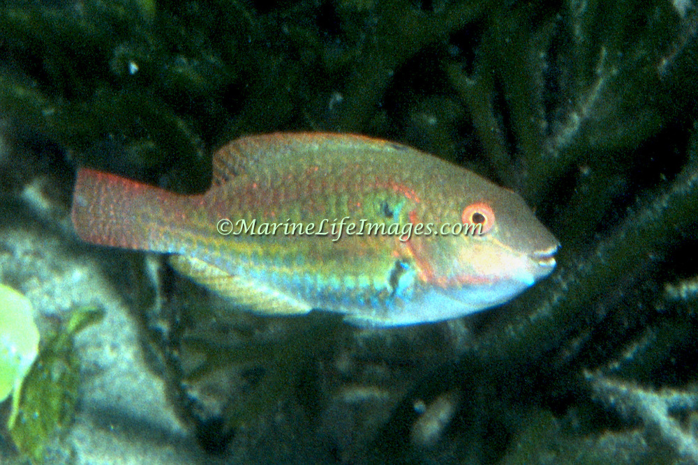 Greenblotch Parrotfish inhabit mid-range to deep reefs, often along steep, sloping drop-offs in Tropical West Atlantic; picture taken Key Largo, FL.